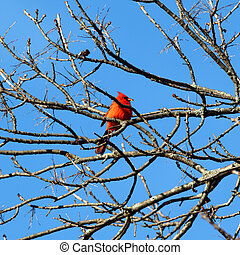 Red Cardinal - Cardinal perched in a tree.