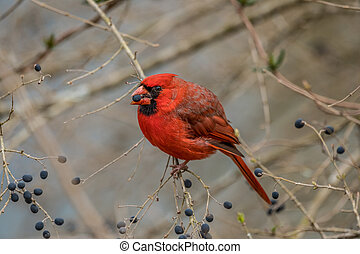 Red cardinal eating berries