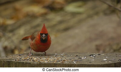 Red Cardinal Eating on Stump