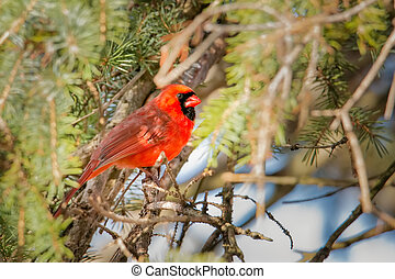 Red cardinal hiding under the branches of a fir during winter