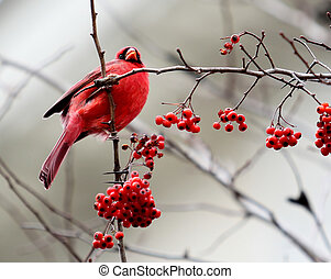 Red Cardinal in a Tree with Berries