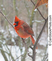 Red, Cardinal-Male