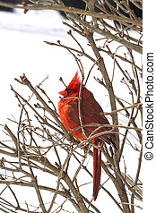 Red Cardinal Nestled in Branches