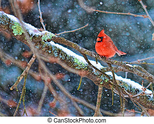 Red Cardinal on a snowy tree branch.