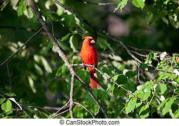 CARDINAL - RED CARDINAL ON A TREE BRANCH