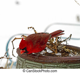 Red Cardinal on Planter