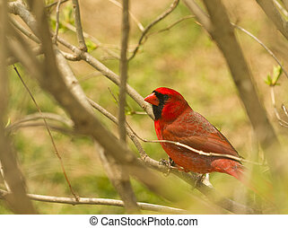 Red Cardinal One