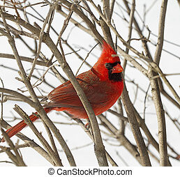 Red Cardinal Snuggled in Branches