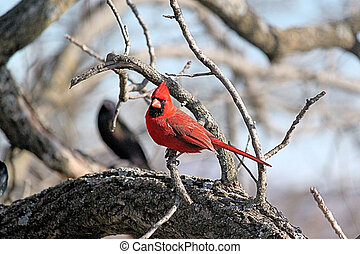 Red Cardinal - Very beautiful red bird. They are very ...