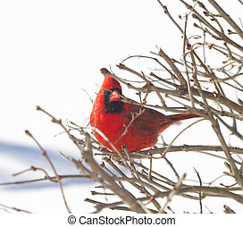 Red Cardinal Watching