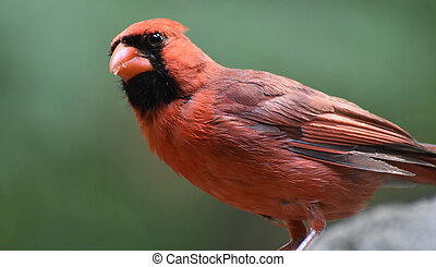 Red Cardinal With Black Feathers on His Face - Red cardinal ...