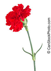 Beautiful red carnation isolated on a white background