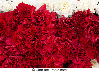 Red carnation flowers background. Blossom texture. Summer pattern.