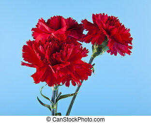 red carnation flowers on a blue background