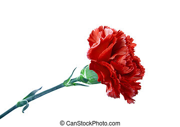 Red carnation on a white background