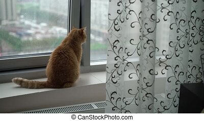 Red cat at the window at rainy day
