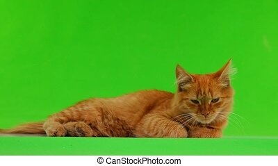 red cat goes isolated on green screen