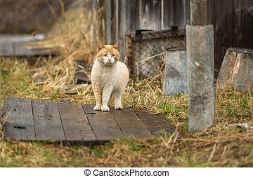 Red cat in the yard of rural house