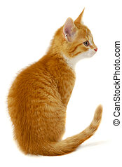 Red cat kitten on white background