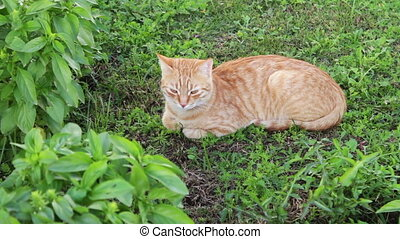 red cat lies on a green grass