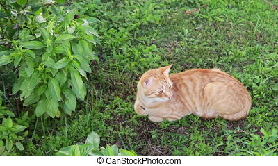 red cat lies on a green grass - big beautiful red cat lies...