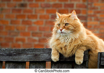 Red furry cat sitting on the fence