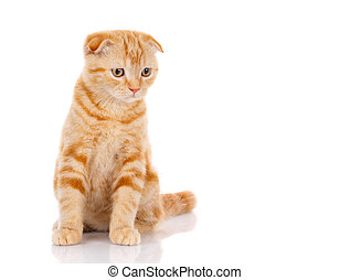 red cat sits on a white background