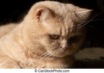 Red cat stares in surprise on a dark background