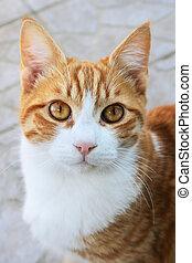 Red cat looking ar camera.