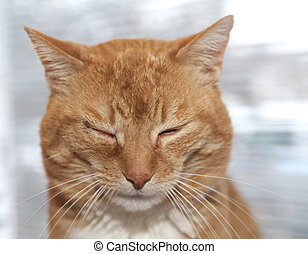 Red cat with infected eye