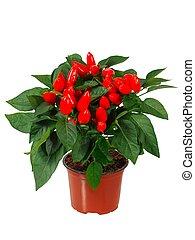 Red cayenne pepper in a pot