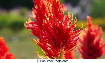 red Celosia Wool Flower sun light - Close up red Celosia,...