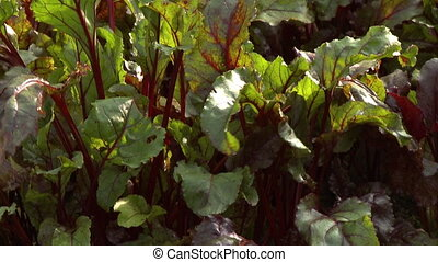 Red Chard Leaves - Handheld, tilting, close up shot of red...