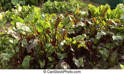 Red Chard Leaves in Garden Plot - Steady, medium close up...