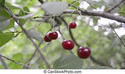 red cherries branch - ripe cherries on tree branch tracking...