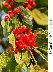 Red cherries in a tree