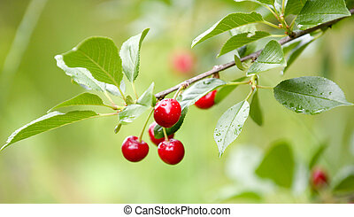 Red cherries on a branch just before harvest in early summer