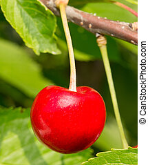 red cherries on a branch with leaves