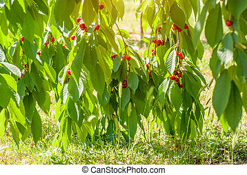 Red cherries on a tree branch over green background