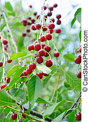 Red Cherries on green leaves background