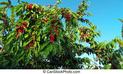 Red Cherry Fruit at Tree Branch