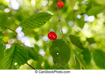 Red cherry on a tree in summer