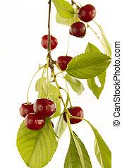 Red cherry on branch
