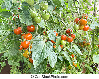 Red cherry tomatoes on bush with green leaves. Studio Photo