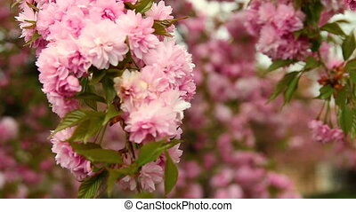 Red cherry tree blossom, rack focus