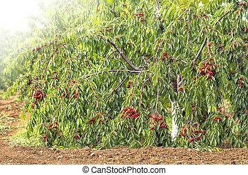 red cherry tree in the garden
