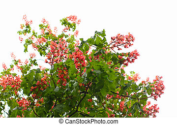 Red chestnut tree flowers