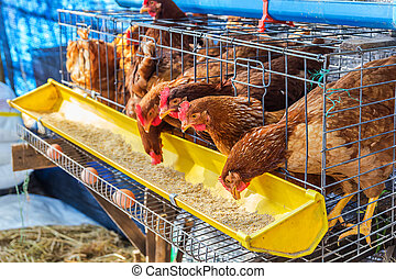 Red chickens eating feed - Red chickens in cell section...