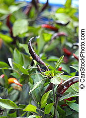 red chili in the garden