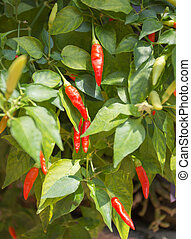 Red Chili pepper in backyard garden